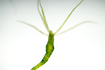 Hydra is a genus of small fresh-water animals