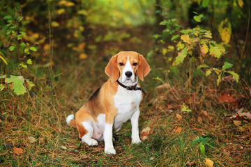 Beagle dog in forest