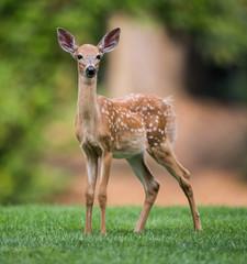 Fawn - Baby Deer