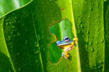 Tree frog looking through a hole in a leaf, West Java, Indonesia