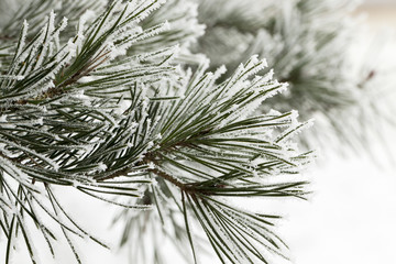 Pine forest, close-up