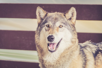 Grey Wolf (Canis lupus) in rustic vintage barn