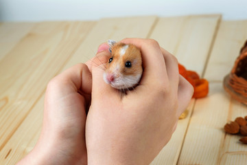 A hamster in human hands close-up against a background of light wood.