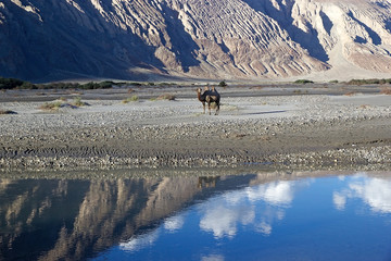 The Bactrian camel (Camelus bactrianus) in Nubra Valley, Ladakh, India