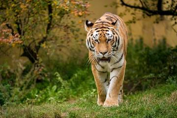 Tiger geht auf die Kamera zu