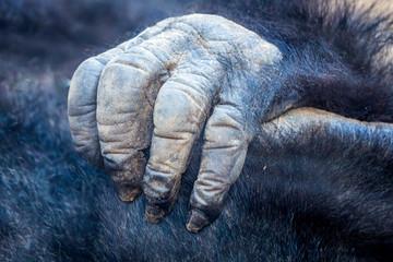 Hand vom Gorilla