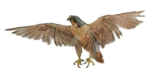flying brown falcon on white