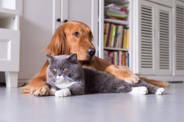 British shorthair cats and Golden Retriever
