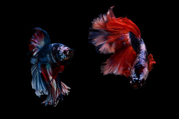 Capture the moving moment beautiful of Couple siam betta fish in thailand,Capture Motion of Siamese Betta Fish tail