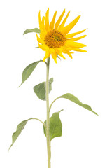 single small sunflower on white