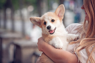 Welsh corgi pembroke puppy on its owners hands