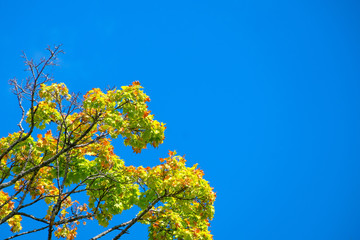 Maple leaf with blue sky background.