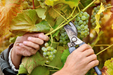 Farmers hands holding and cutting white grape from the vines during wine harvest Fototapete