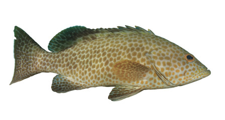 Areolate Grouper fish isolated on white background