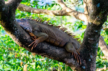 Orange colored Iguana resting in a tree near Tempisque river - Muelle de San carlos, Costa Rica Fototapete