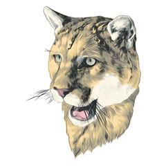 Puma sketch head vector graphics color picture