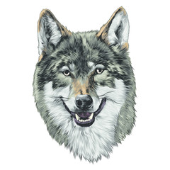 wolf head sketch vector graphics color picture