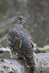 Spruce grouse female posing on log in Algonquin Park
