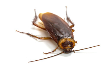 cockroaches on white background