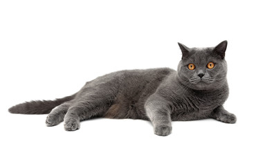 cat breeds Scottish Straight lies on a white background