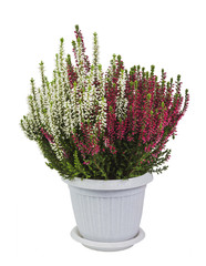 blooming Heather two-tone in a pot on white background isolated