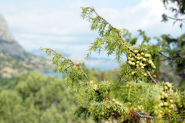 A branch of juniper on the background of mountains and the sea.