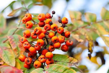 Mountain rowan fruits ashberries. Autumn harvest still life scene. Soft focus blurred background photography.
