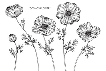 Cosmos flower drawing.