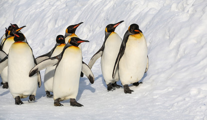 King penguins walking on the snow.