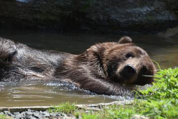 Wild Silvertip bear bathing in the water