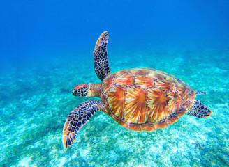 Sea turtle swims in sea water. Big green sea turtle closeup. Wildlife of tropical coral reef.