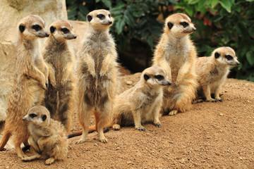 group of suricata animals
