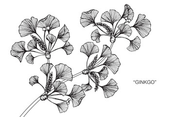Ginkgo leaf drawing.
