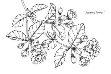 Jasmine flower drawing.