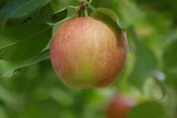 リンゴの木 赤いリンゴ