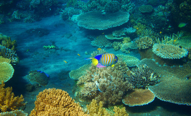 Striped angel fish in coral reef. Tropical seashore inhabitants underwater photo.