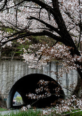 Road Tunnel with cherry blossom full bloom in spring season,Kawaguchiko,Japan.