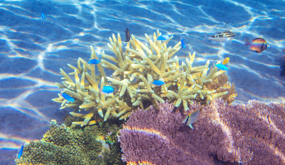 Tropical coral landscape with blue fish. Coral reef underwater. Blue and yellow fish school.