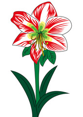 amarillis fiore