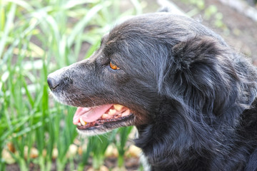Head of a black dog