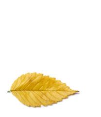 Radiant golden yellow autumn elm leaf isolated on white background