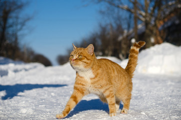 A light brown cat goes on snow in the street in winter