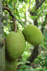 Jackfruit stock