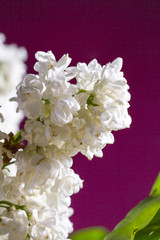 White lilac on magenta background