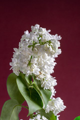 Branch of white lilac on dark red