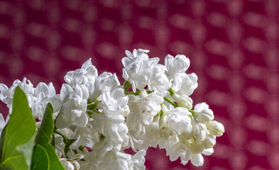A branch of white lilac on red