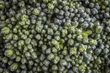 Broccoli Floret Macro