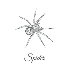 Spider sketch vector illustration. Spider hand drawing