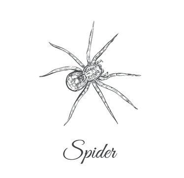 Spider sketch vector illustration. Spider hand drawing