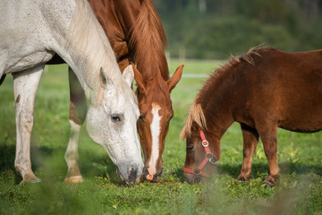 Two horses with little shetland pony
